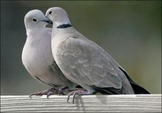 Two turtle doves. I'll tell you what you do: you keep one, and you give the other one to a very special person. You see, turtle doves are a symbol of friendship and love. And as long as each of you has your turtle dove, you'll be friends forever. Beautiful Birds, Animals Beautiful, Cute Animals, Dove Pigeon, Mourning Dove, Turtle Dove, Dove Bird, 12 Days Of Christmas, Christmas Items