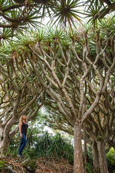 Dragonniers aux Açores