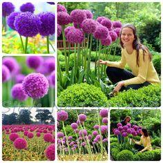50pcs Purple Giant Allium Giganteum Globemaster Beautiful Flower Seeds, Budding Rate 95% Garden Plant