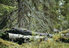 Grouse, Bird, Animals, Animales, Animaux, Birds, Animal, Animais