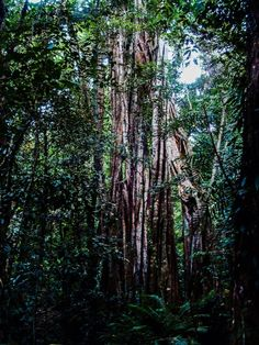 Daintree Rainforest, Diwan, Australia — by Tom Page. Huge vines coming down through the dense canopy of the oldest surviving rainforest in the world. Walking tours are...