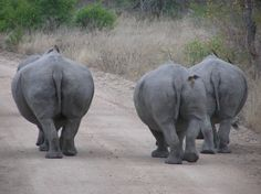 3 cute tushies - rhinos