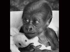 Asante a baby gorilla at Twycross Zoo, Leicestershire in 1985.