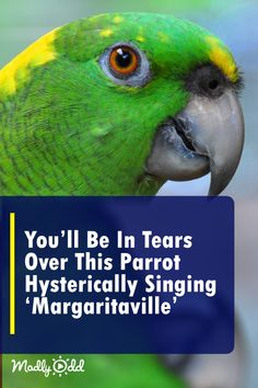 margaritaville jimmybuffett hysterically parrots singing parrot funny birds youll tears this bird over pets lol Youll Be In Tears Over This Parrot Hysterically Singing Margaritaville You can find Parrots and more on our website Funny Bird Pictures, Animal Pictures, Animals And Pets, Funny Animals, Cute Animals, Small Birds, Pet Birds, Amazon Parrot, Colorful Parrots