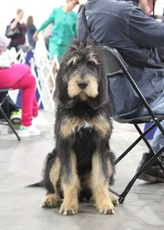 Otterhounds are a dog breed that show great dignity.