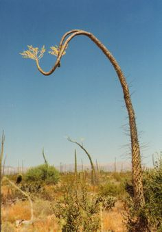 """Fouquieria columnaris, the Boojum tree is a tree in the family Fouquieriaceae, whose other members include the ocotillos. It is nearly endemic to the Baja California Peninsula, with only a small population in the Sierra Bacha of Sonora, Mexico. The plant's English name, Boojum, was given by Godfrey Sykes of the Desert Laboratory in Tucson, Arizona and is taken from Lewis Carroll's poem """"The Hunting of the Snark""""."""