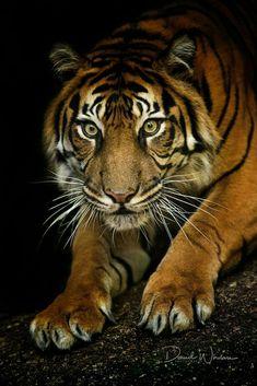 Intense looking tiger Siberian Tiger, Bengal Tiger, I Love Cats, Big Cats, Beautiful Cats, Animals Beautiful, Animals And Pets, Cute Animals, Gato Grande