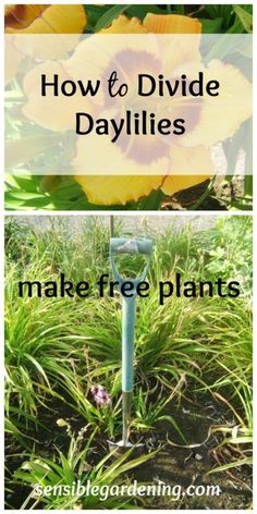 How to Divide Daylilies with Sensible Gardening. Make free plants! Daylilies are very strong and division is very easy. Make more for your garden or share with friends!