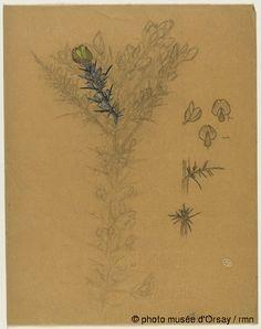 René Lalique Etude de rameaux d'ajoncs, trois études d'une gousse et d'une fleur d'ajonc, deux études d'épines d'ajonc entre 1860 et 1945 crayon, encre, gouache et aquarelle sur papier végétal H. 0.28 ; L. 0.22 musée d'Orsay, Paris, France
