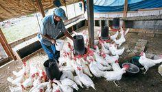 Simulan en campo aplicación del plan sobre influenza aviar  Desde 2001 Honduras se declaró país libre de cuatro enfermedades restrictivas al comercio avícola: la influenza aviar, new castle, salmonelosis y laringotraqueitis aviar.