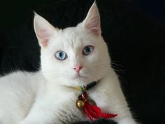 Owning A Deaf Cat   Cats & Co