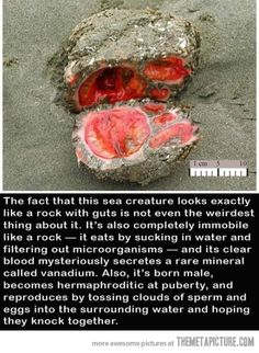 Weird sea creature… the Pyura chilensis. http://blogs.scientificamerican.com/running-ponies/2012/06/21/pyura-chilensis-the-closest-thing-to-getting-blood-from-a-stone/