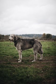 "a-hound-dog: "" Finn, Irish Wolfhound, 7 years old. Marymoor Park, Washington. """