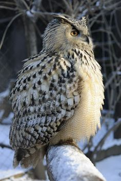 Turkmenian Eagle Owl, feathers puffed against the cold! Beautiful Owl, Animals Beautiful, Cute Animals, Owl Photos, Owl Pictures, Owl Species, Nocturnal Birds, Owl Bird, Tier Fotos