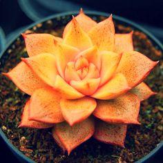 Echeveria dionysos. #echeveria #succulent #fire #yellow #garden #trees #plants #herbs #vines #nature #cactus #flora #evrgrdn