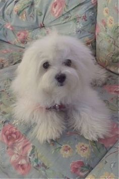 """It's all about the right conditioner!"" #dogs #pets #Maltese Facebook.com/sodoggonefunny"