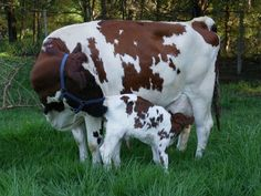 Gallery For > Baby Ayrshire Cattle How it should be! Mother and calf together! Cute Baby Cow, Baby Cows, Farm Animals, Animals And Pets, Mini Cows, Bull Cow, Dairy Cattle, Showing Livestock, Animals