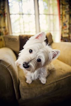 West Highland Terrier ♥
