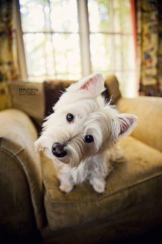 West Highland Terrier ♥
