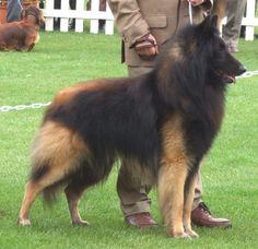 Belgian Tervuren Shepherd