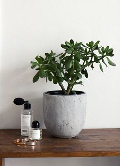 Office Plants Jade tree a.a money tree, for good luck & fortune // pic: www. Jade Plants, Big Plants, Potted Plants, Indoor Plant Pots, Indoor Garden, Plantes Feng Shui, Cactus E Suculentas, Jade Tree, Deco Jungle