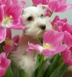 A darling white Mini schnauzer puppy sitting in garden of pink flowers Adorable