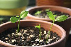 https://growingwildceeds.wordpress.com/2012/03/10/how-to-grow-a-lemon-tree-from-seed/