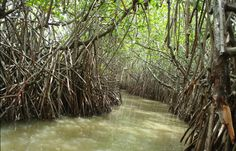 the pichavaram mangrove forest in tamil nadu, south india Mangrove Forest, Gods Creation, South India, Vacation Destinations, Forests, Science Nature, Mothers, Woods, Novels