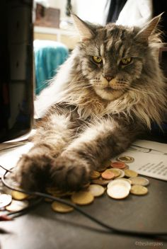 """""""Your money?"""" — (Don) Blake, Maine Coon - I adore Maine Coons, brilliant cats. Beautiful Cats, Pretty Cats, Animals Beautiful, Cute Animals, Funny Animals, Maine Coon Kittens, Cats And Kittens, Crazy Cat Lady, Crazy Cats"""