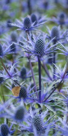 eryngium x zabelii 'Big Blue' (sea holly) Blooming Flowers, Fall Flowers, Blue Flowers, Beautiful Flowers, Coastal Gardens, Beach Gardens, Flower Garden Plans, Sea Holly, Flower Landscape