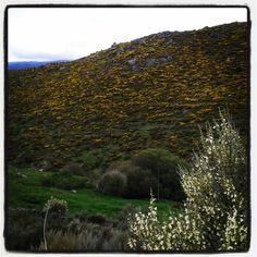 Piorno en flor, no solo amarillo tb blanco