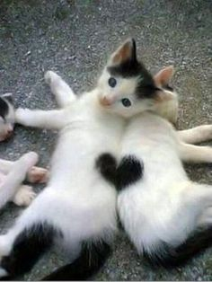 Two kittens make one heart. (KO) Angelic kitties. Don't be fooled! Naughtiness dressed up in furry clothes! Precious though. At times. Mostly naughty.