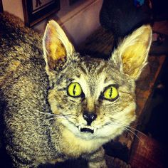 The freaking terrifying stuffed wild cat from Hades