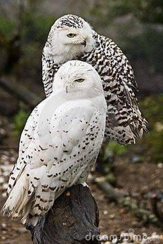 Beautiful Owl, Animals Beautiful, Cute Animals, Animals Amazing, Pretty Animals, Beautiful Couple, Baby Animals, Owl Pictures, Owl Photos