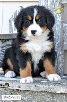 Bernese Mountain Dog. So cute!
