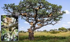 Entire lion pride hides up Tanzanian tree to escape from FLIES