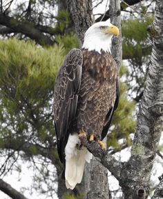 Vision and victory and freedom Eagle Pictures, Bird Pictures, Eagle Images, Beautiful Birds, Animals Beautiful, Bold Eagle, Animals And Pets, Cute Animals, Mundo Animal