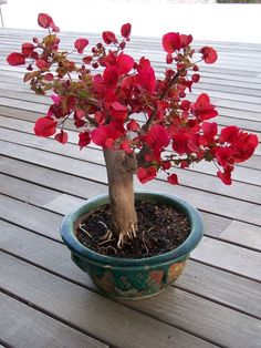bougainvillier bonsai