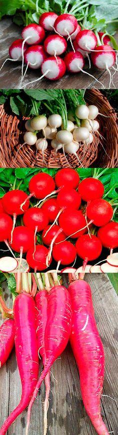 Сорта редиса для выращивания в теплице
