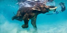 baby elephant swimming :) How is this not just adorable? It's just perfect. Beautiful Creatures, Animals Beautiful, Elephas Maximus, Baby Animals, Cute Animals, Baby Elephants, Wild Animals, Thailand Elephants, Elephant Love