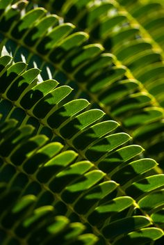 ~~ Close up of leaves of Silk Tree (Mimosa) ~~