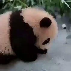 mun u zgjove 😂❤️ Cute Panda Baby, Baby Panda Bears, Baby Animals Super Cute, Cute Little Animals, Cute Funny Animals, Baby Pandas, Niedlicher Panda, Panda Gif, Panda Funny