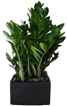 ZZ Plant The rock are a great idea for disguising the soil and decorating the pot. Planting Succulents, Planting Flowers, Zz Plant, Low Light Plants, Plant Images, Office Plants, Interior Plants, Snake Plant, Outdoor Plants