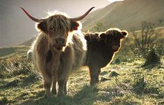 gorgeous highland cattle