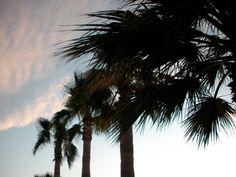 Palms sway in a #Baja breeze..