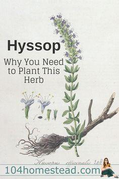 Hyssop (Hyssopus off