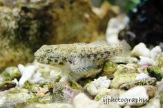 Cute little Goby that lives in our salt water aquarium.