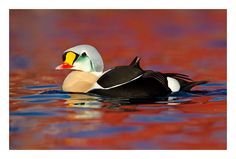 King Eider from a floating hide in Arctic Norway. A species that has always been high on my wish list to see. It was such a privilege then to be only a few feet away from this spectacular sea duck.