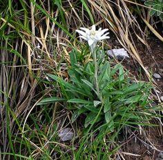 Edelweiss - Retrouvez-nous sur www.le-refuge-des-marmottes.com