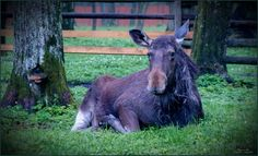 Animals in Bialowieza, Poland (moose female resting) - a photo by Maximus38